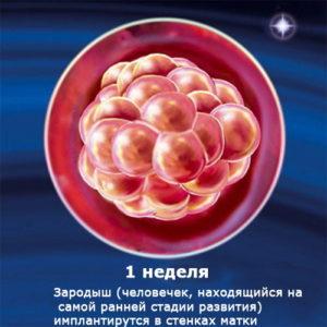 внутриутробное развитие